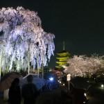 Toji and Cherry Blossoms