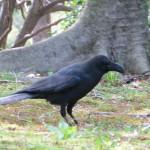 Raven in Kitanomaru Park