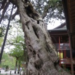 Awesome Tree at Tsurugaoka Hachiman-gū
